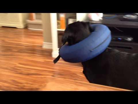 Daisy's new inflatable collar.