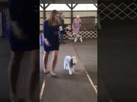 Hatboro Dog Club, October 5th 2018, Bedlington Terriers Best of Breed