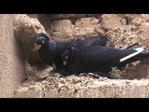 طيور الزينة حمام عراقي أصيل (طيور كنابك )