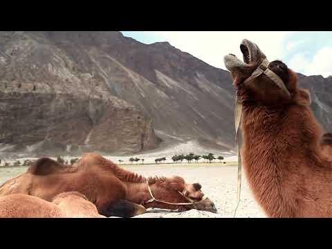 Mountains, Desert, Camels, Asia - Free to use and download