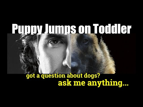 How Do I get My Puppy To Stop Jumping on and PlayBiting My Toddler - ask me anything - Dog Training