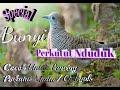Suara Nduduk Perkutut Lokal Pancingan Kutut Bahan Ombyokan  Mp3 - Mp4 Download
