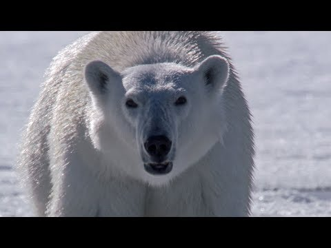 Polar Bear Stalks and Attacks Seal   BBC Earth