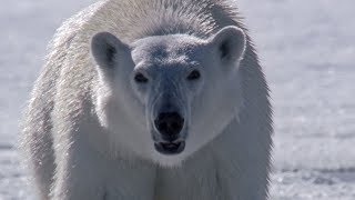 Polar Bear Stalks and Attacks Seal | BBC Earth