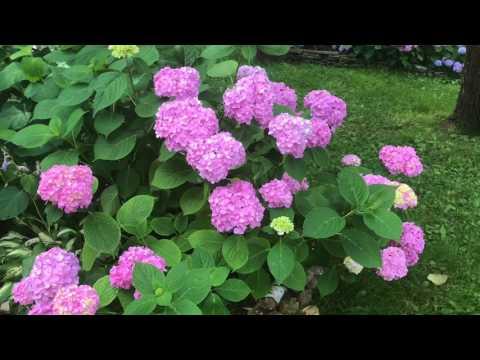 Крупнолистная гортензия в средней полосе ( уход для хорошего цветения )