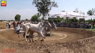 DHALIWAL (Jalandhar)   BULL HALTI RACES   ਬਲਦਾਂ ਦੀਆਂ ਹੱਲਟ ਦੌੜਾਂ - 2016    Full HD    Part 2nd