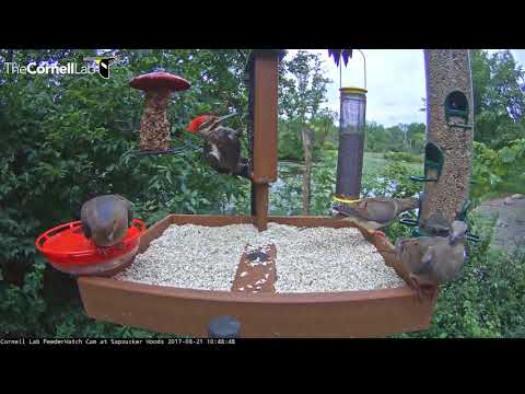 Pileated Woodpeckers on Cornell Feeders – August 21, 2017