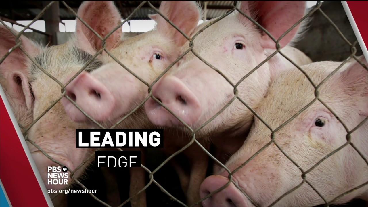 Antibiotics fatten up livestock… but nobody exactly knows