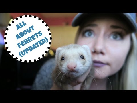 MEET MY FERRET... AGAIN (UPDATED FERRET CARE & CAGE TOUR)