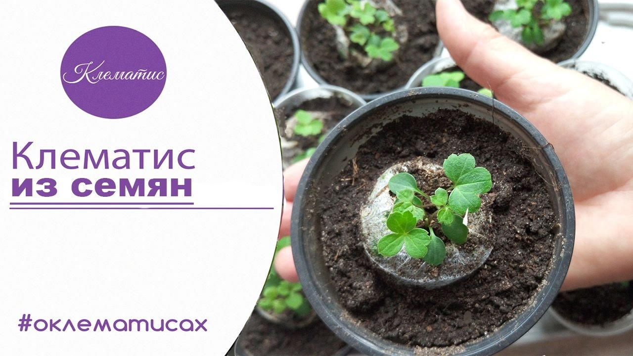Выращивание клематиса семенами в домашних условиях