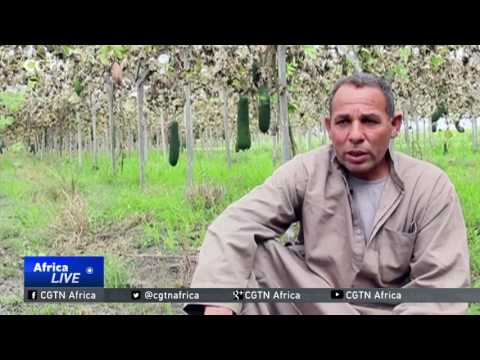 Egypt's loofah farmers urge government to support growing industry