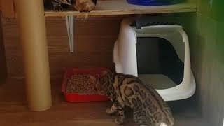 Бенгальские кошки. Вязка. Кот равязывает кошку.