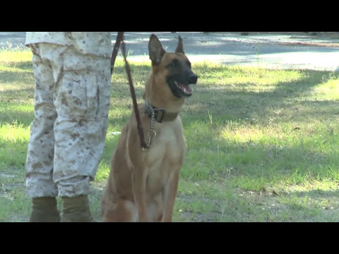 Military Working Dog Training at Marine Corps Air Station Beaufort