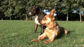 Staffordshire Bull Terrier + Yorkshire Terrier