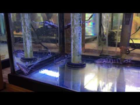 Merodontotus Tigrinus Cat (Zebra Shovelnose Catfish) For Sale!