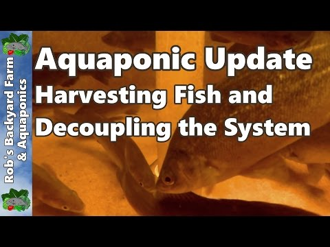 Aquaponic System – Harvesting Fish & Decoupling the System