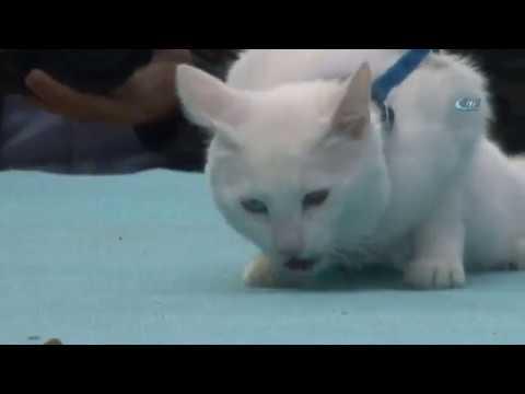 Van Kedileri Podyuma Çıktı