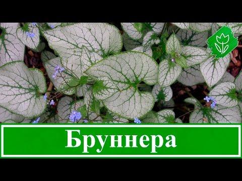 Цветок бруннера – посадка и уход в открытом грунте, виды и сорта бруннеры