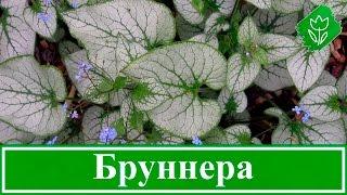 🍃 Цветок бруннера – посадка и уход в открытом грунте, виды и сорта бруннеры