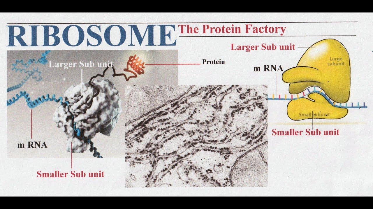 The Cell Class 11 // Ribosome - YouTube