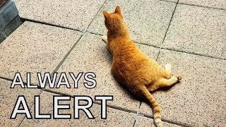 Alvi cat : this is why cats are always alert