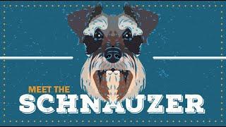 Schnauzer Standard | CKC Breed Facts & Profile