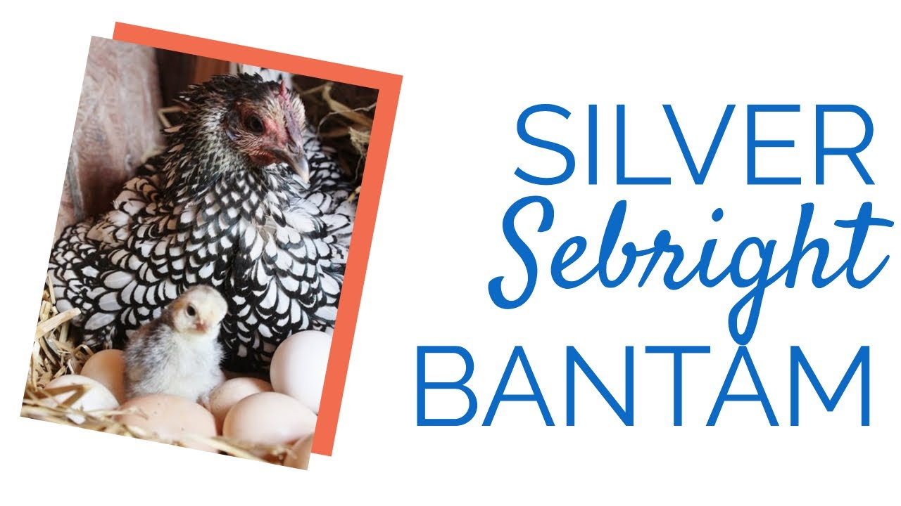 Silver Sebright Bantam Chickens For Sale | Chickens For Backyards