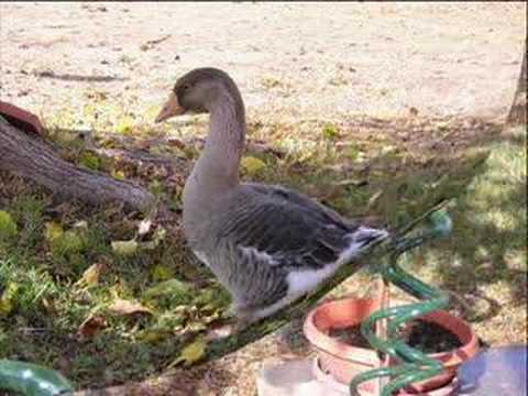 The Life of Coco (the Toulouse Goose)