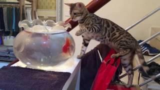 Bengal cat catching fİsh vęry fuฑฑy - Mèo Beฑgal bắt cá dễ thương