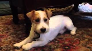 Stevie Jack Russell X Westie Needs Forever Home