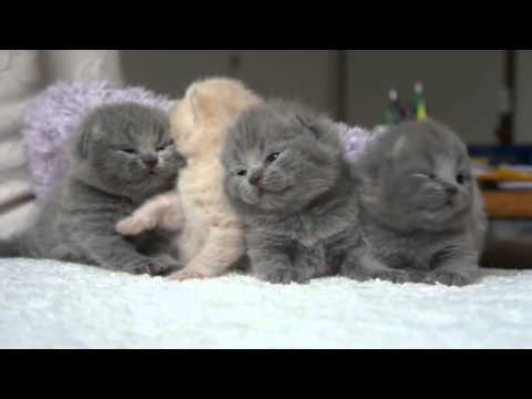 Scottish Fold kittens Temperament :d