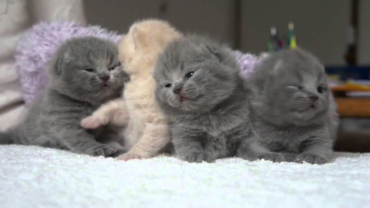 Scottish Fold kittens Temperament d