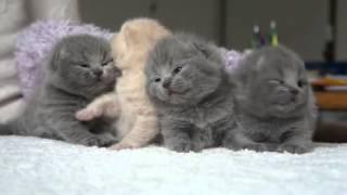 まるでツムツム…生まれたばかりのスコティッシュフォールドの子猫が体を寄せ合って、可愛すぎる。