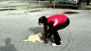 Lab Puppy Flexi Leash Training Cashew