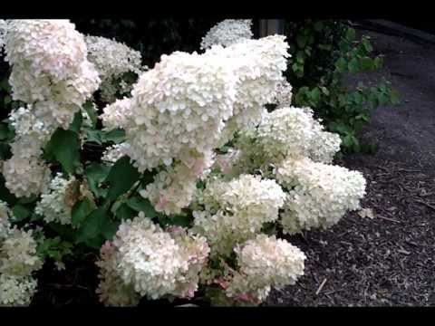 how to prune a hydrangea paniculata. Black Bedroom Furniture Sets. Home Design Ideas