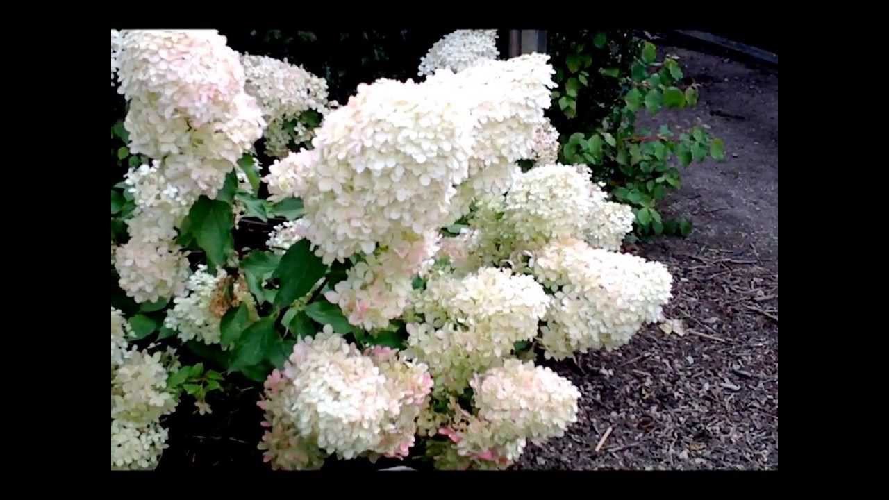 hydrangea paniculata 39 phantom 39 youtube. Black Bedroom Furniture Sets. Home Design Ideas