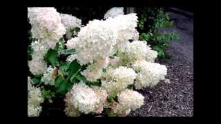 Hydrangea paniculata 'Phantom' video