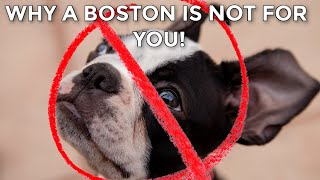 5 Real Reasons NOT To Get A Boston Terrier