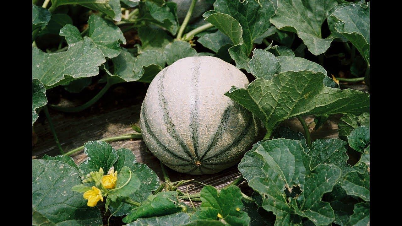 Le melon culture semis plantation taille entretien - Culture du melon charentais ...
