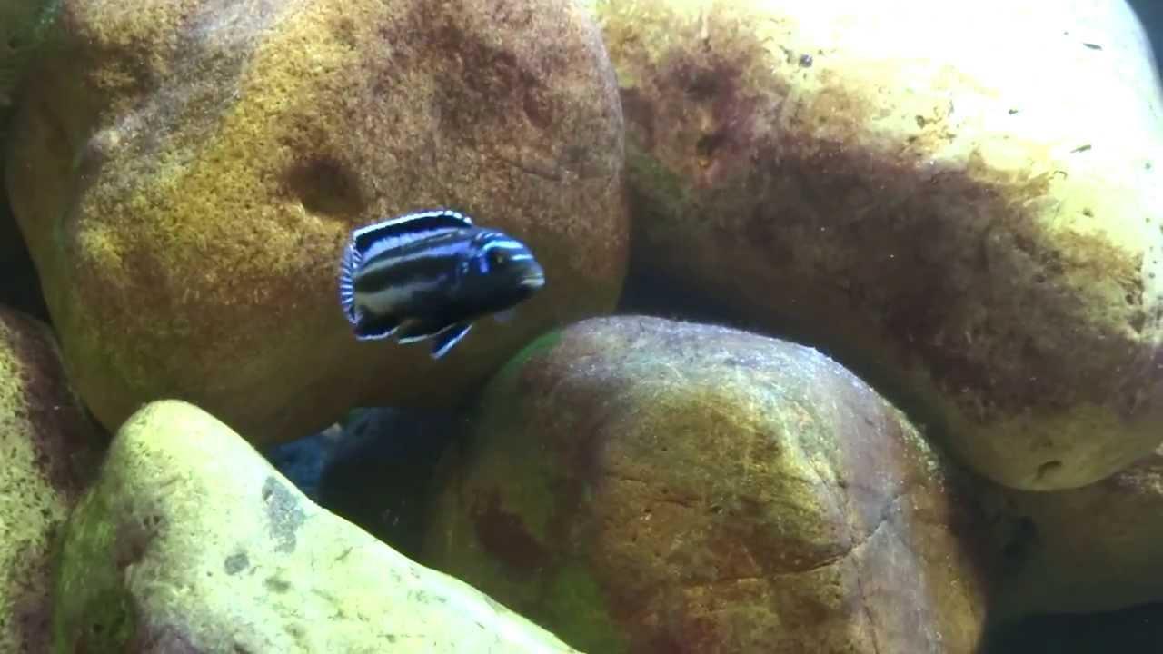 Acquario ciclidi malawi 250 litri i pesci malawi for Acquario 250 litri