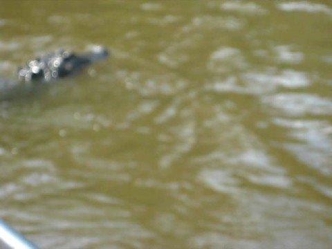 New Orleans Gator Eating a Hotdog