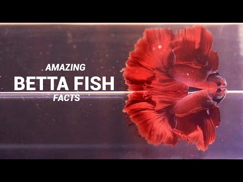 Amazing Betta Fish Facts