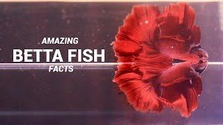 Amazing Betta Fish Facts