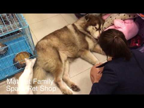 Chó Alaska Mật dỗi chủ vì không được đi chơi với bạn gái ::)
