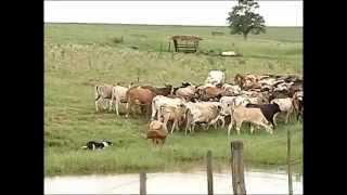 Cães de pastoreio cumprem papel importante no manejo de rebanhos