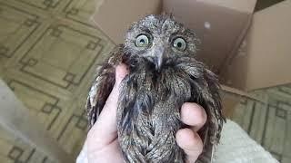 Что будет, если кормить сову курятиной? Сплюшка 32 - 2018 (8)