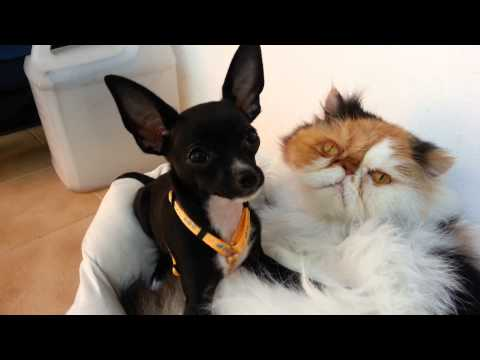 Chihuahua  Neruda & Shila & Debby Katz