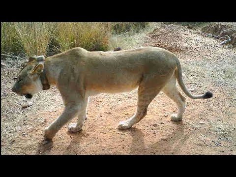 Caught On Camera! | The Lion Whisperer