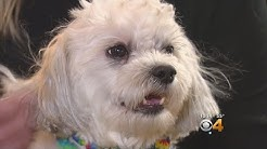 Colorado Researchers Studying CBD Oil In Dogs