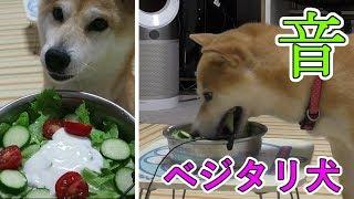 柴犬も時にはシャキシャキ草食犬!?盛り沢山の野菜を食べてみたその音がスゴい